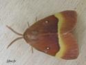 Lasiocampa quercus (Linné, 1758) 9_lasi10
