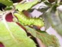 Antheraea mylitta (Drury, 1773) 9a_ant10