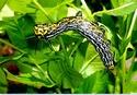Brahmaea (Acanthobrahmaea) europaea Hartig Acanth10