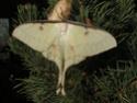 Actias sinensis (Walker, 1855) Actia107