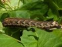 Agrius cingulata (Hübner, 1819) Agrius10