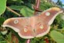Antheraea mylitta (Drury, 1773) Anther15