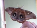 Antheraea polyphemus (Cramer, 1775) Anther41