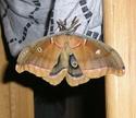 Antheraea polyphemus (Cramer, 1775) Anther43