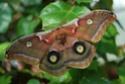 Antheraea polyphemus (Cramer, 1775) Anther45