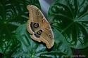 Antheraea polyphemus (Cramer, 1775) Anther46