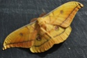 Antheraea yamamai (Guérin-Méneville, 1861) Anther53
