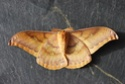 Antheraea yamamai (Guérin-Méneville, 1861) Anther54