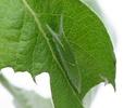 Apatura iris (Linné, 1758) Apatur12