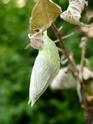 Apatura iris (Linné, 1758) Apatur36