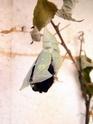 Apatura iris (Linné, 1758) Apatur44