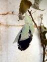 Apatura iris (Linné, 1758) Apatur45