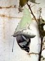 Apatura iris (Linné, 1758) Apatur47