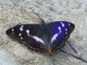 Apatura iris (Linné, 1758) Apatur61