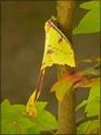 Argema mimosae Boisd. Argema32
