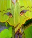 Argema mimosae Boisd. Argema34