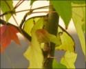 Argema mimosae Boisd. Argema37