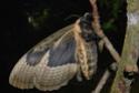 Brahmaea certhia (Fabricius, 1793) Brahma28