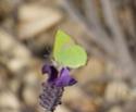 Callophrys avis (Chapman, 1909) Callop10