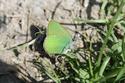 Callophrys rubi (Linné, 1758) Callop11