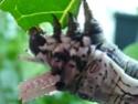 Citheronia jordani (Draudt, 1930) Cither30