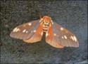 Citheronia regalis (Fabricius, 1793) Cither35