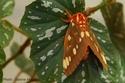 Citheronia regalis (Fabricius, 1793) Cither43