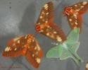 Citheronia regalis (Fabricius, 1793) Cither45