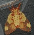 Citheronia regalis (Fabricius, 1793) Cither46