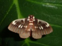 Citheronia splendens (Druce, 1886) Cither53