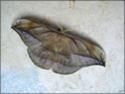 Copaxa decrescens (Walker, 1855) Copaxa14