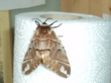 Endromis versicolora (Linné, 1758) Endrom11