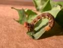 Erannis defoliaria (Clerck, 1759) Errani10