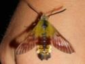 Hemaris tityus (Linné, 1758) Hemari13