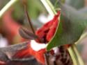 Hyalophora cecropia (Linné, 1758) Hyalop10