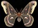 Hyalophora cecropia (Linné, 1758) Hyalop21