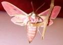 Hyles euphorbiae (Linné, 1758) Hyles_18