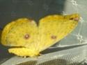 Loepa diversiocellata (Bryk, 1944) Loepa_20