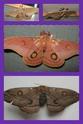 Opodiphthera eucalypti (Scott, 1864) Opodip11