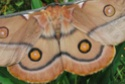 Opodiphthera eucalypti (Scott, 1864) Opodip13