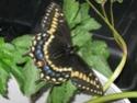 Papilio brevicauda (Saunders, 1869) Papili12