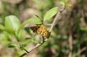 Pseudopanthera macularia (Linné, 1758) Pseudo10