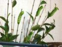 Rothschildia cincta (Tepper, 1882) Rothsc14