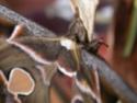 Rothschildia cincta (Tepper, 1882) Rotsch10