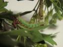 Eriogyna pyretorum (Westwood, 1847) Saturn14