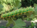 Eriogyna pyretorum (Westwood, 1847) Saturn15