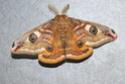 Saturnia pavonia (Linné, 1758) Saturn18