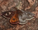 Saturnia pavonia (Linné, 1758) Saturn21