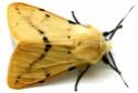 Spilosoma lutea (Hüfnagel, 1766) Spilos10