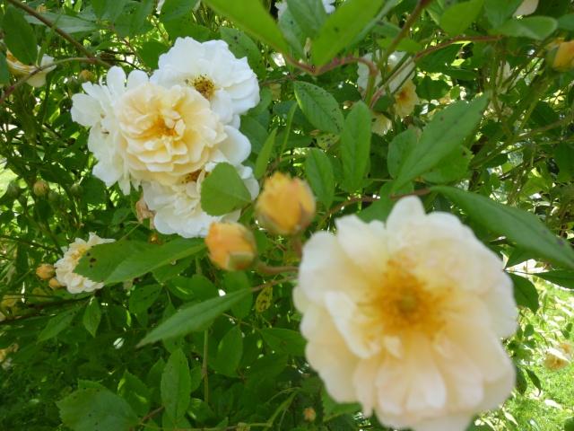 roses de mon jardin P1020413